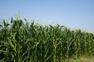 Using crop-based biofuels - such as maize and rapeseed - can have unintended environmental impacts