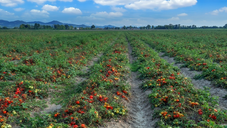 100% of the Italian-grown tomatoes Princes processed in 2018 have been sourced from farms with independent ethical accreditation