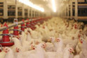 Upon its completion in late spring, the system will provide heat and cooling across four new poultry sheds