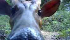 Previous Bio-Bridge projects have successfully attracted wildlife back to the area, such as the Muntjac deer in Malaysia