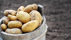 Householders are advised to store their potatoes in a dark, cool, well-ventilated place to reduce sprouting