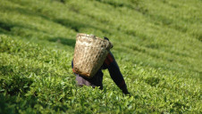 The trial could reach more than 10,000 Malawian tea farmers and if successful, could benefit 1.5 billion families that depend on small-scale farming across the globe
