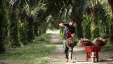 Palm oil is a $50bn-a-year commodity, but traditional plantations have driven widespread destruction of tropical rainforests
