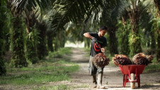 The global palm oil industry generates more than $50bn annually, but traditional plantations have driven widespread destruction of tropical rainforests