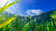 "Due to its fast-growing nature and carbon-sequestering qualities, WWF has dubbed seagrass "" akey weapon in the battle against climate change"". Image: WWF"