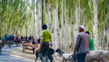Uighur people travel along birch tree lined roads to the weekly market at Yopurga near Kashgar in Xinjiang