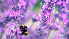 Bee-killing pesticides called neonicotinoids were approved for UK use earlier this month, despite non-regression commitments on environmental standards