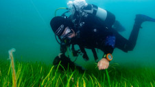 Pictured: A diver working with seagrass in Dale Bay, Wales. Image: WWF/Lewis Jeffries