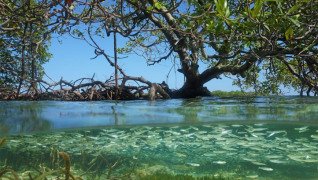 Pictured: A mangrove forest in the Caribbean